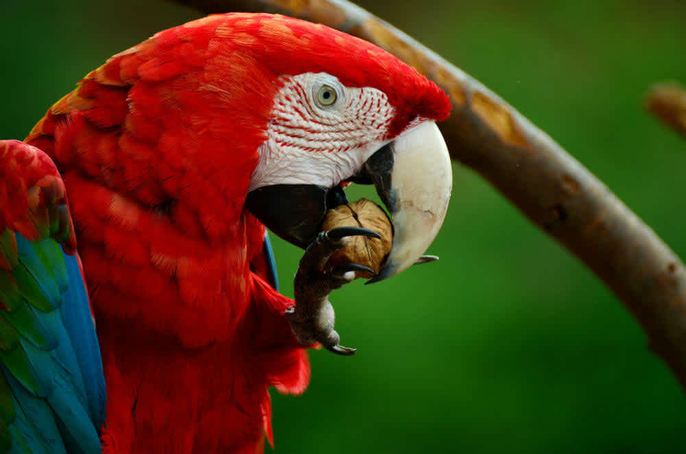 Red parrot cracking a nut with its beak and claws
