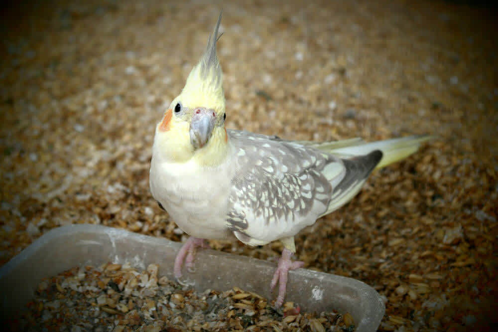 Yellow and gray cockatiel eating seed from a clear plastic container