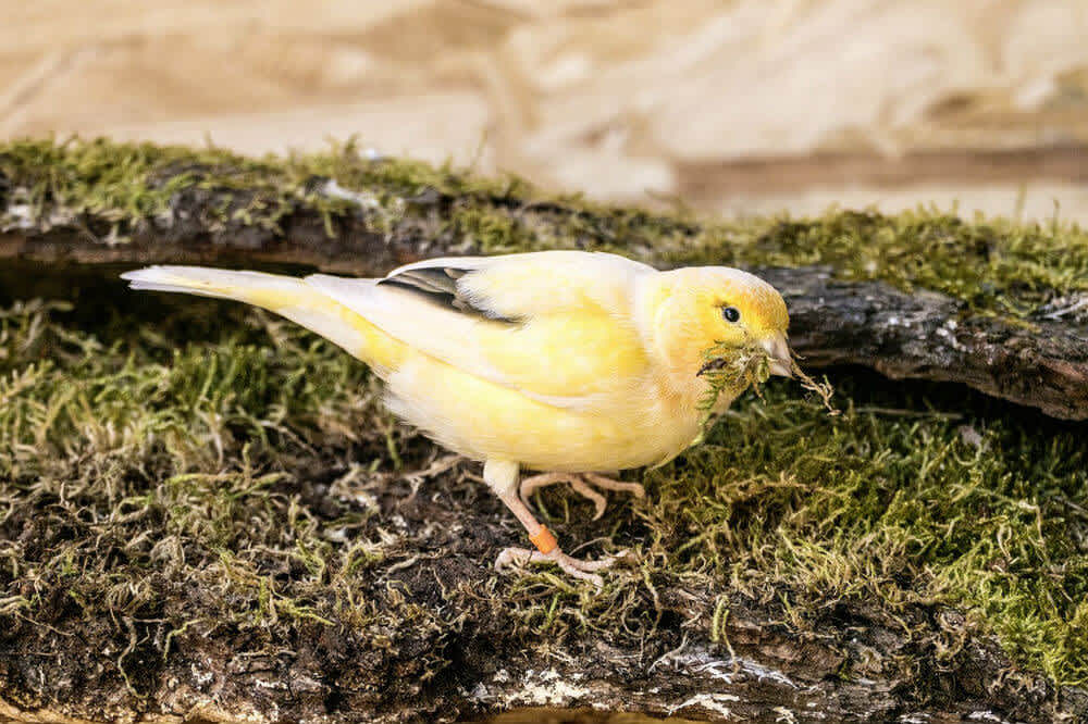 Yellow canary foraging through moss