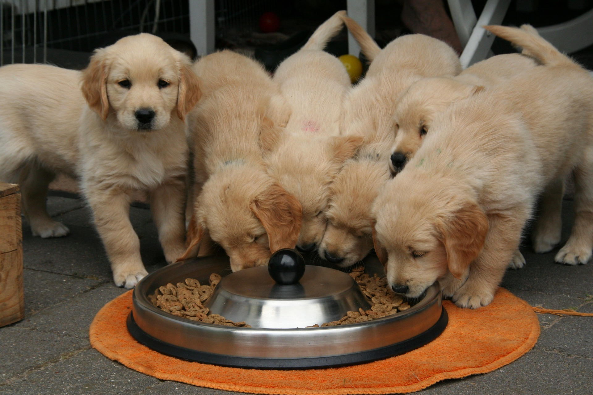 Golden retriever puppies eating out of a metal bowl