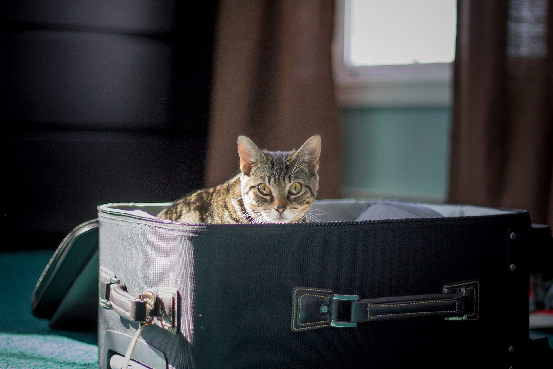 Gray cat sits in suitcase