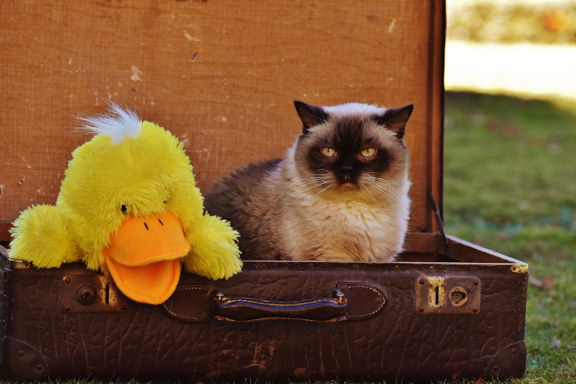 Cat sits in a travel trunk with a stuffed duck