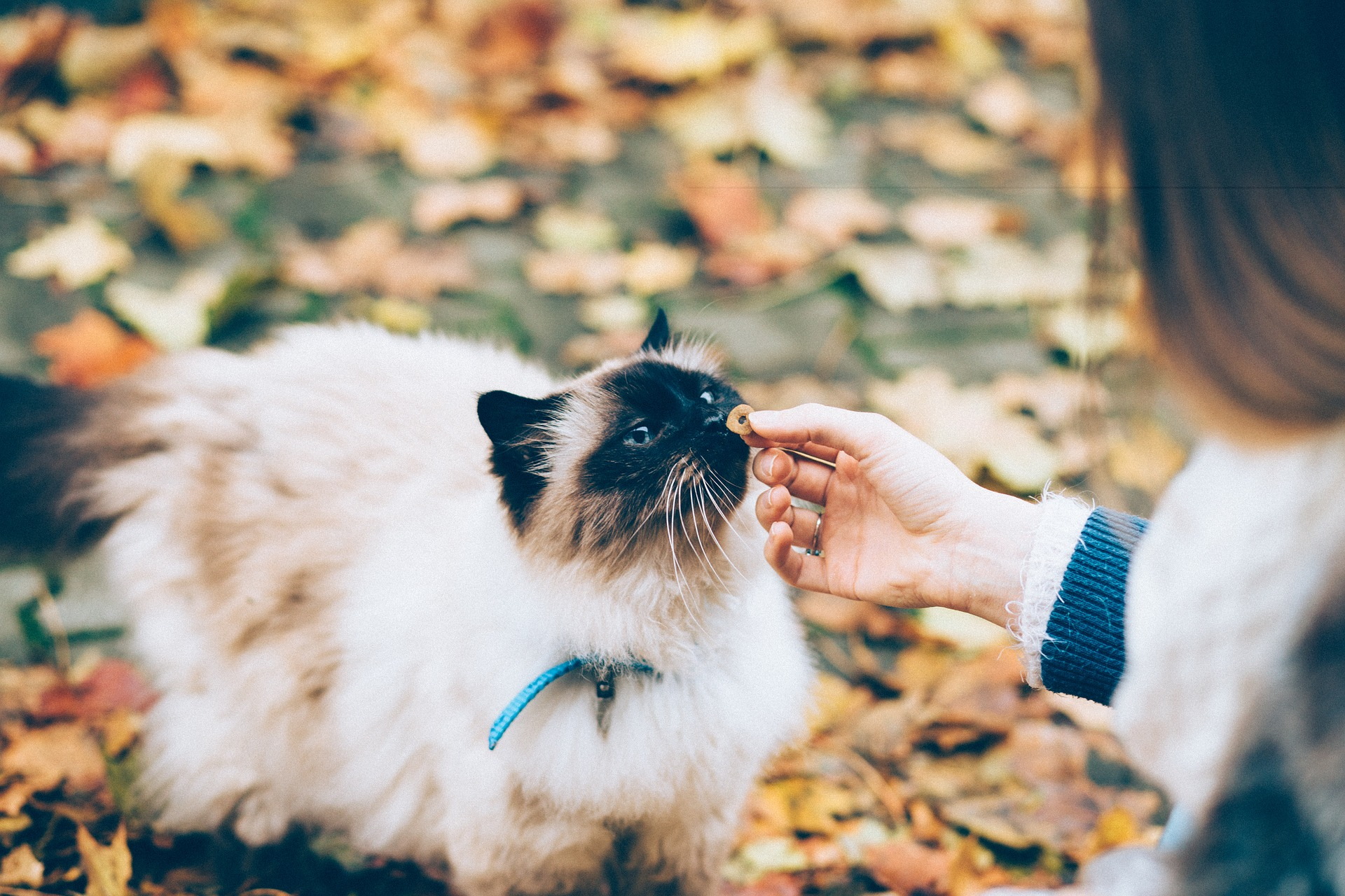 Cat sniffing food offered by human