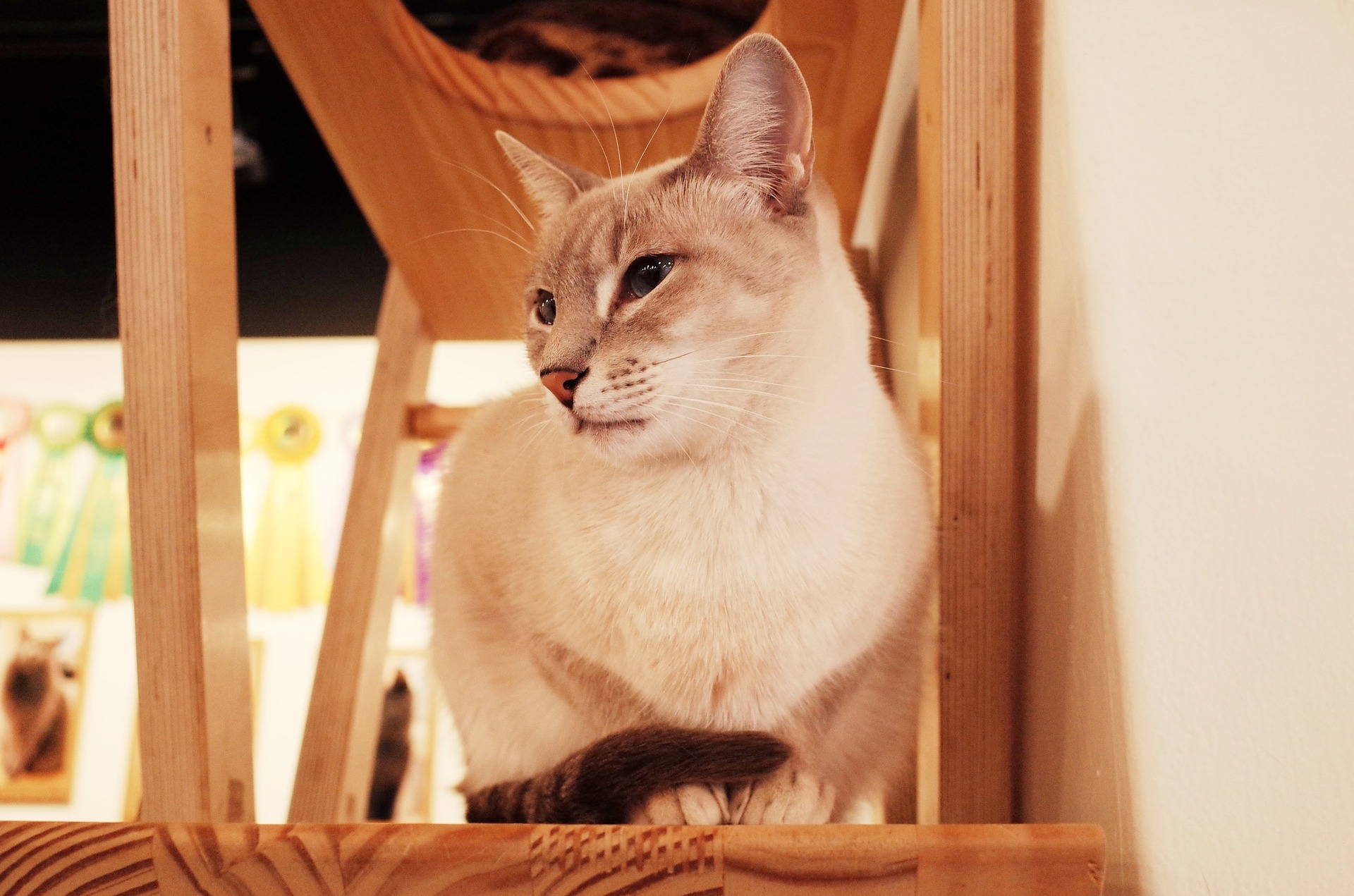 Sitting cat in wooden cat tower