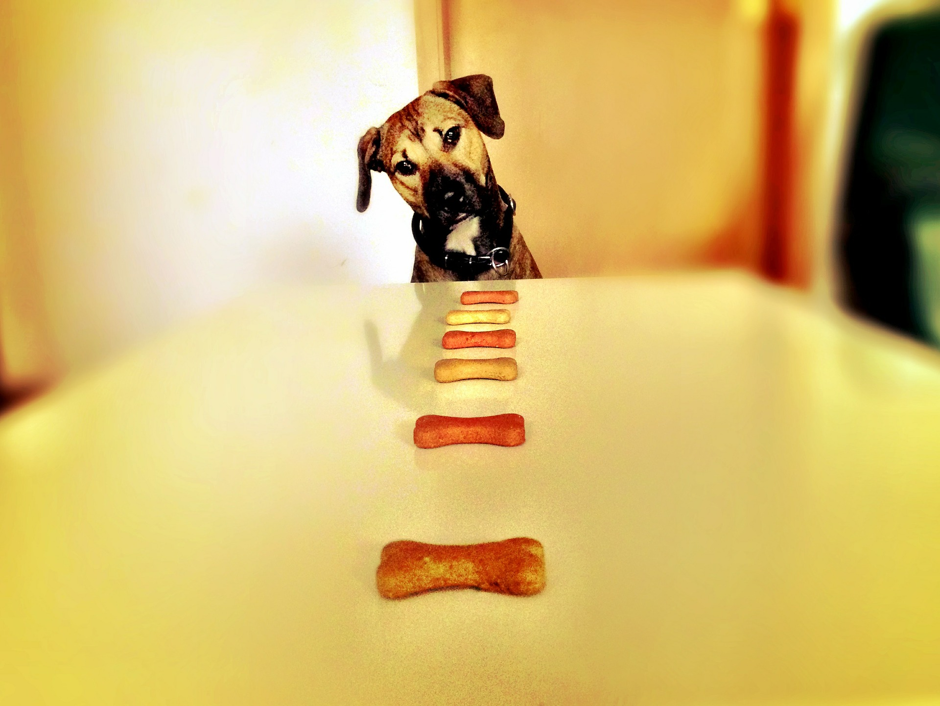 Dog looks at a line of bone-shaped dog treats