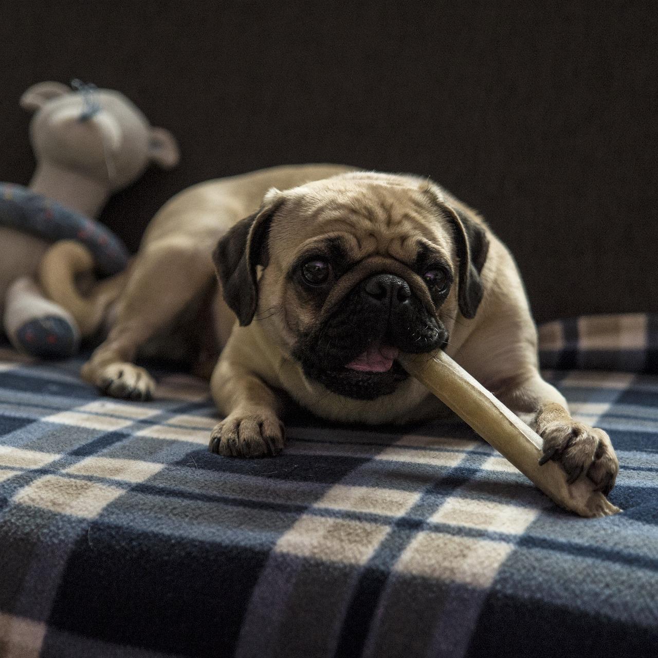 Pug chews on a dog treat