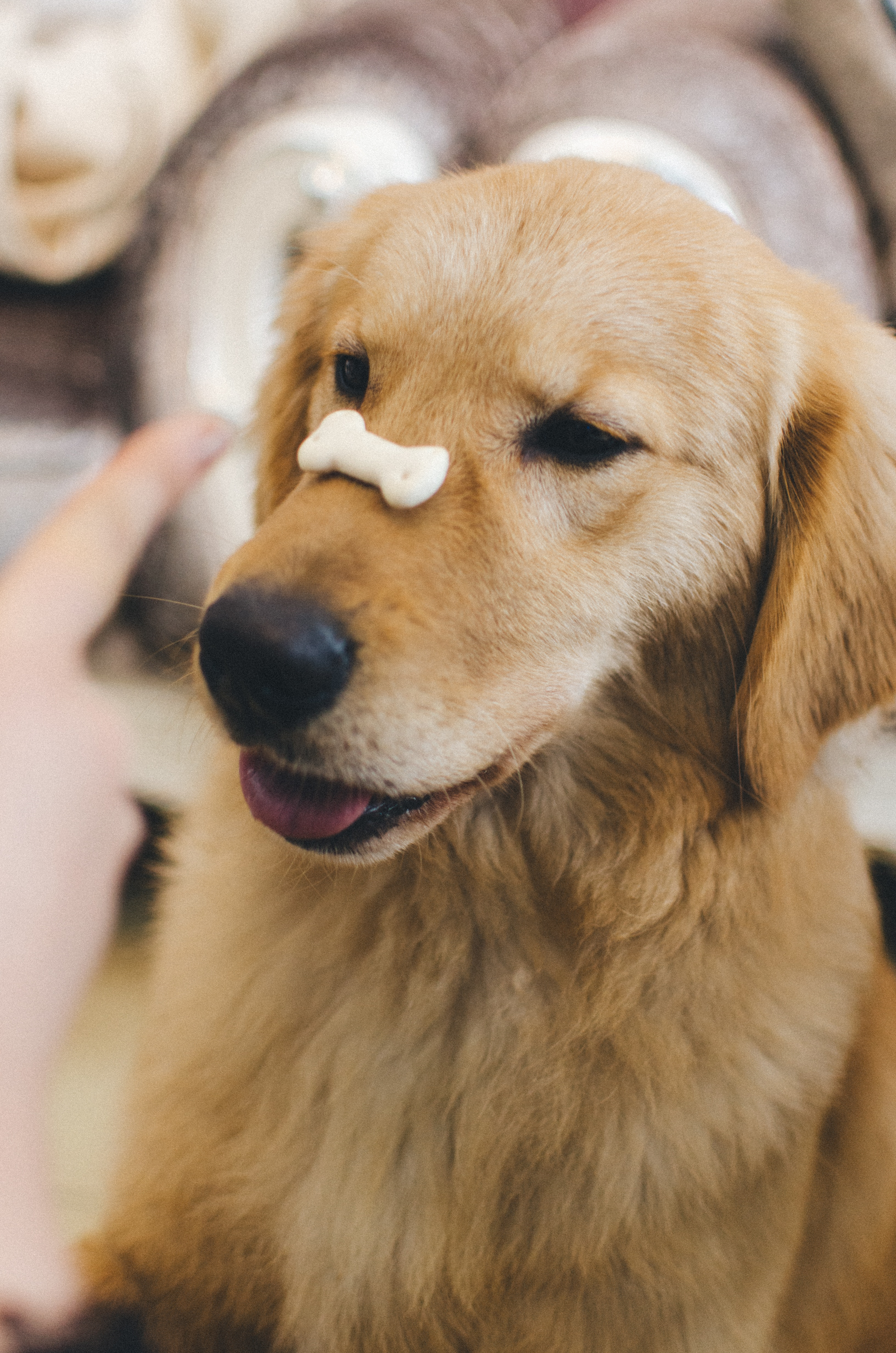 Dog holds treat on its nose