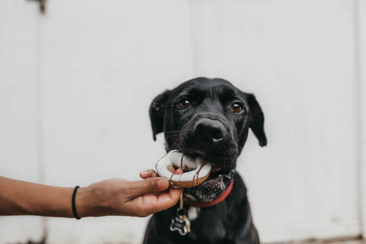 Black dog eating a doughnut