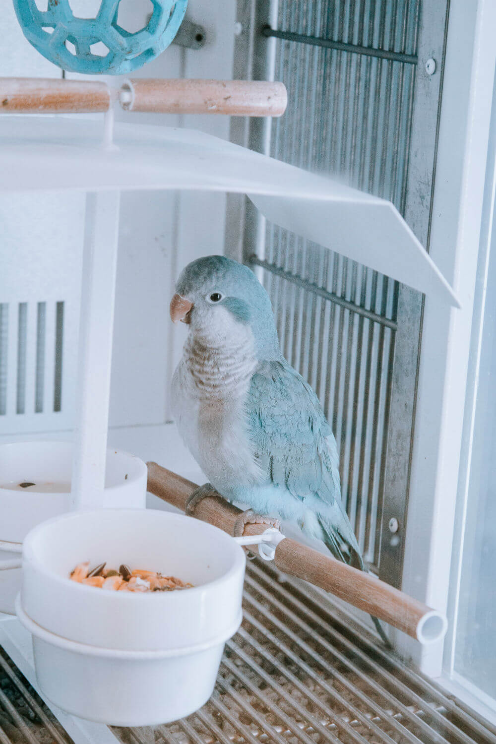 Blue and white budgie sits on a perch in a white cage