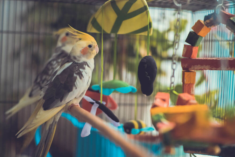 Multicolored cockatiel sits on a perch in his cage with several toys