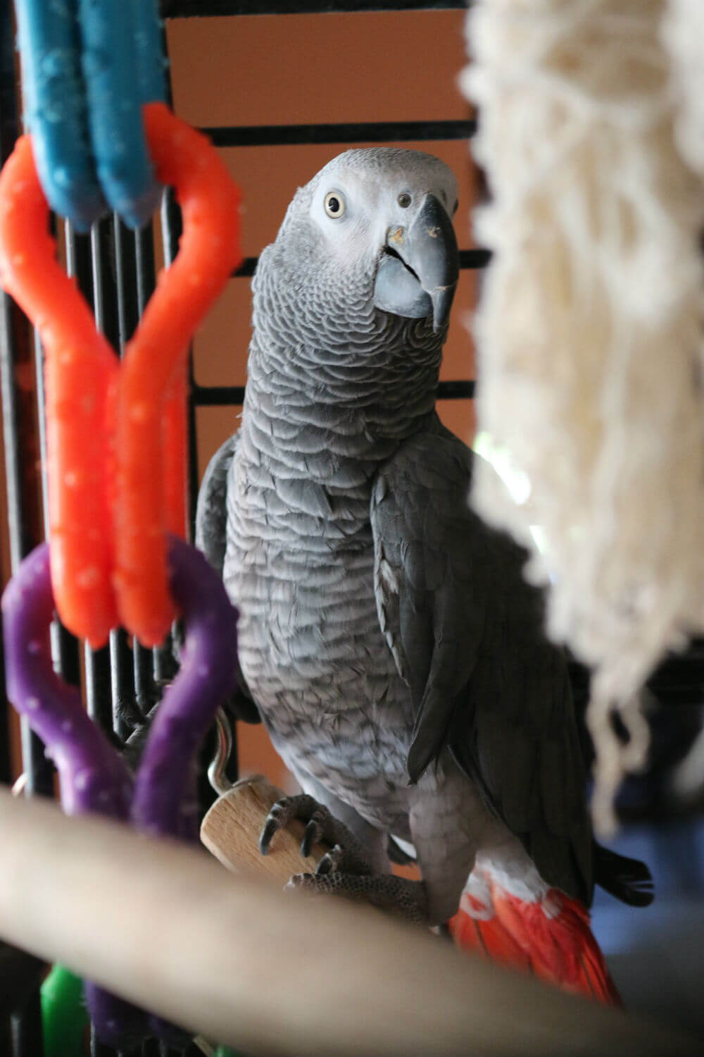 Gray parrot in a cage