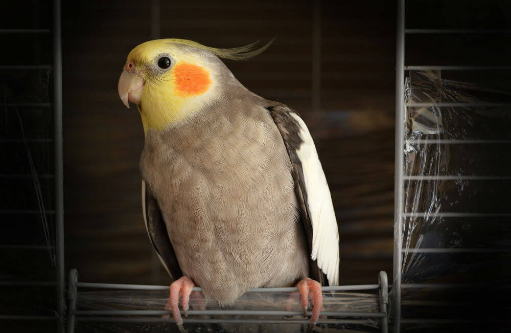 Happy gray and yellow cockatiel sitting in the open door of its cage