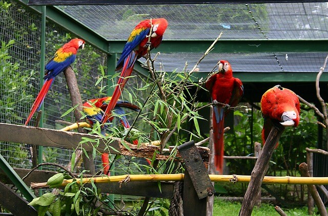 Several colorful macaws in an outdoor bird aviary