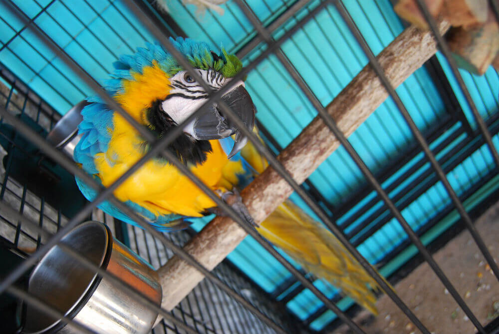 Blue and yellow parrot eyes its cage