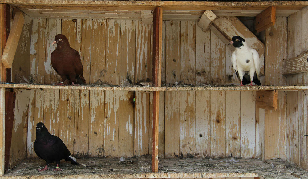 Three pigeons roost in a wooden shelter