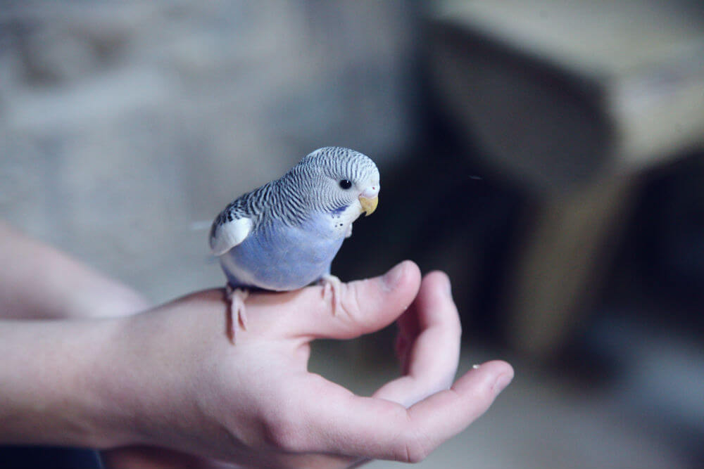 A small blue parakeet sits on an outstretched hand