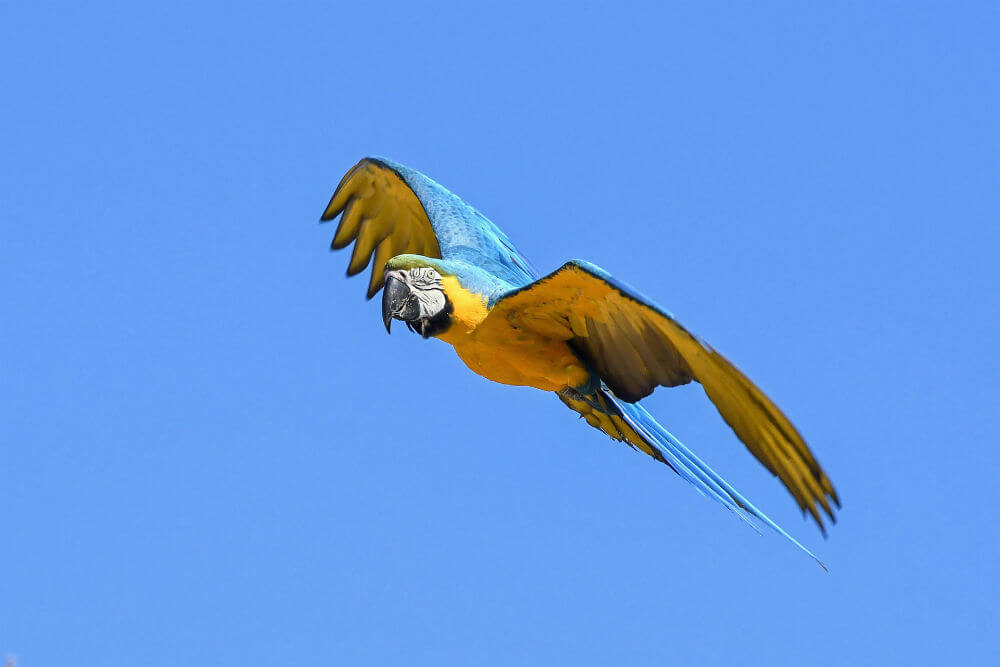 Blue and yellow parrot flies through the clear blue sky