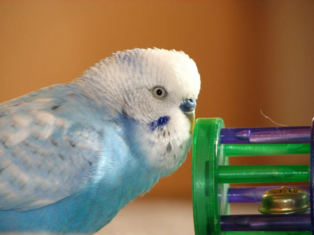 A blue budgie plays with a bell toy