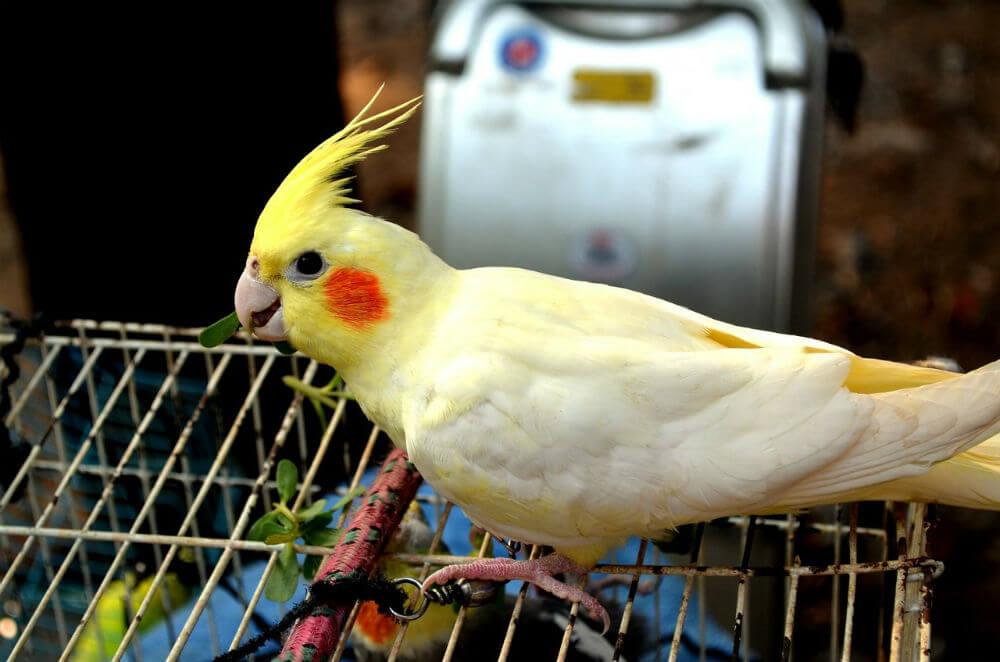 Happy cockatiel walks on top of its cage