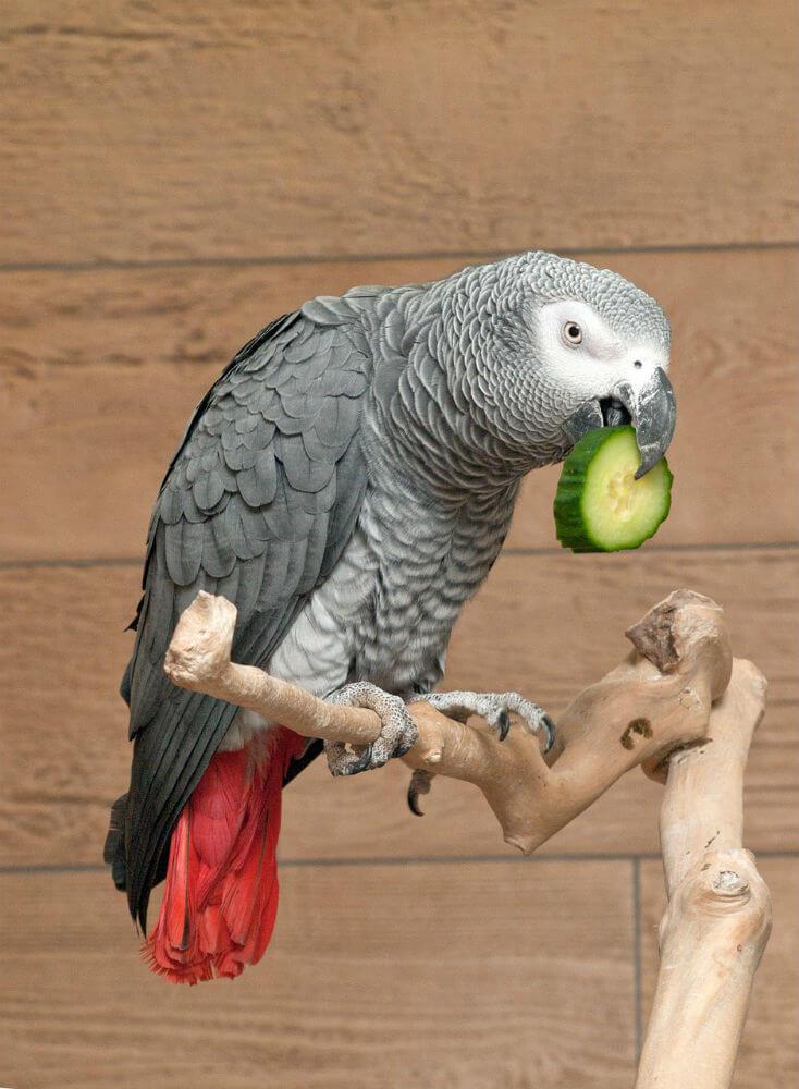 A gray parrot on a wooden perch eats a cucumber