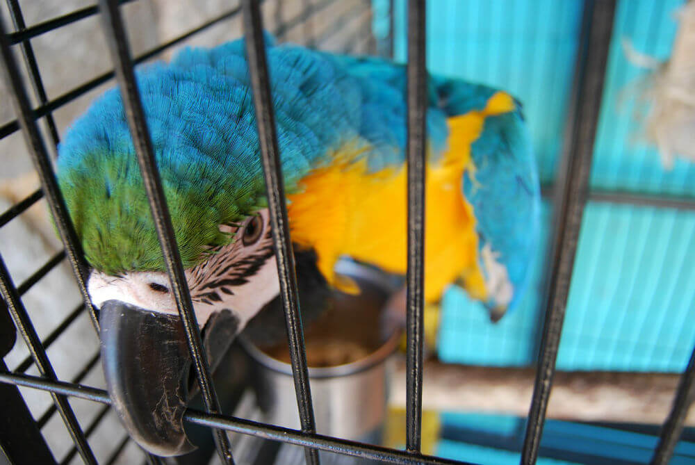 A blue and yellow parrot nibbles on its cage bars