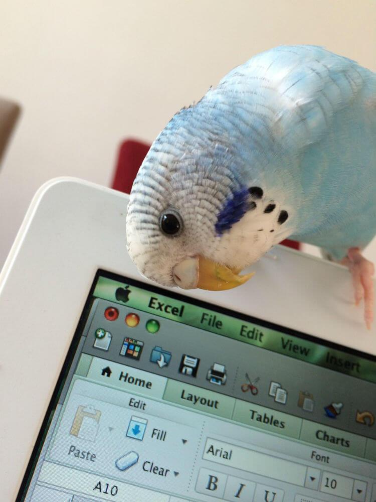 A blue budgie hugs a laptop