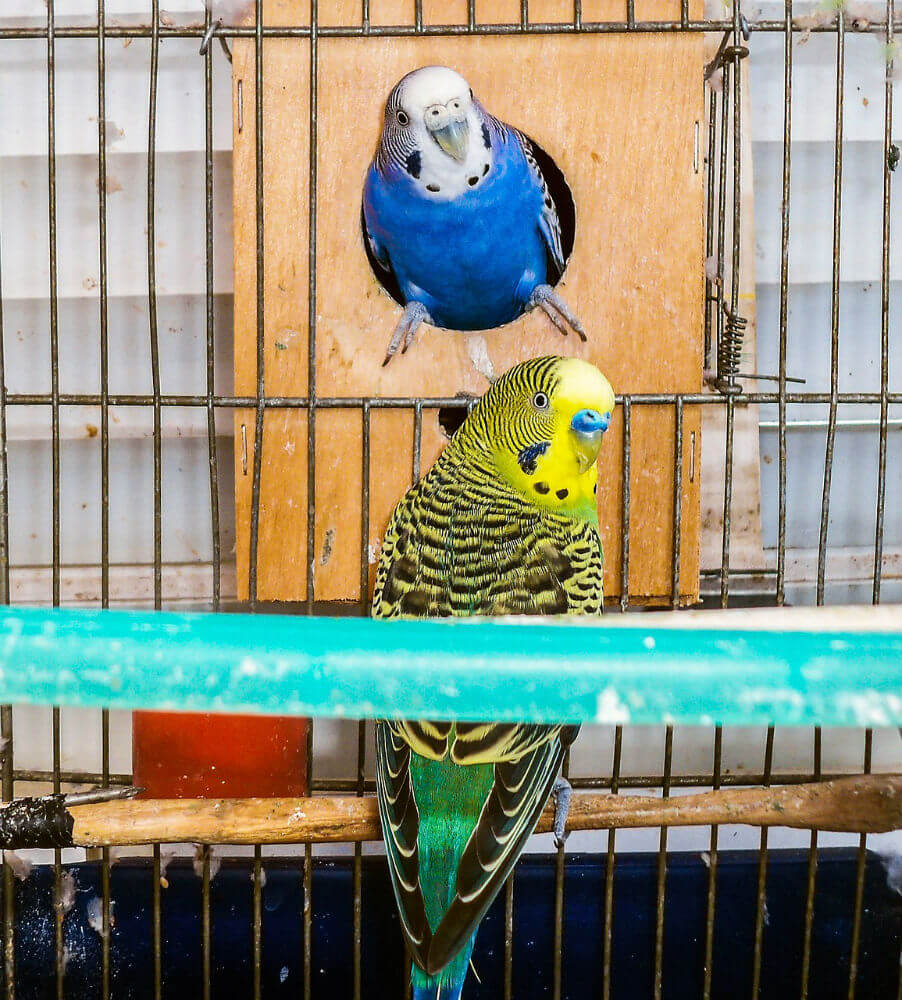 One blue and one yellow bird play in their cage
