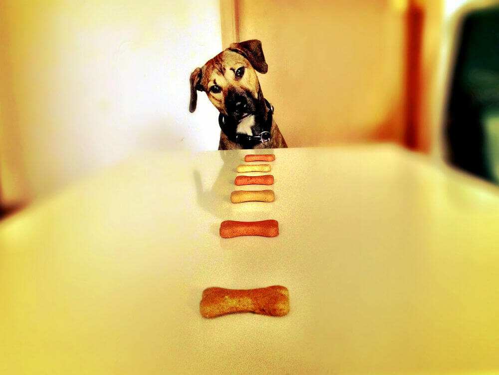 Dog looks at a line of bone-shaped dog treats