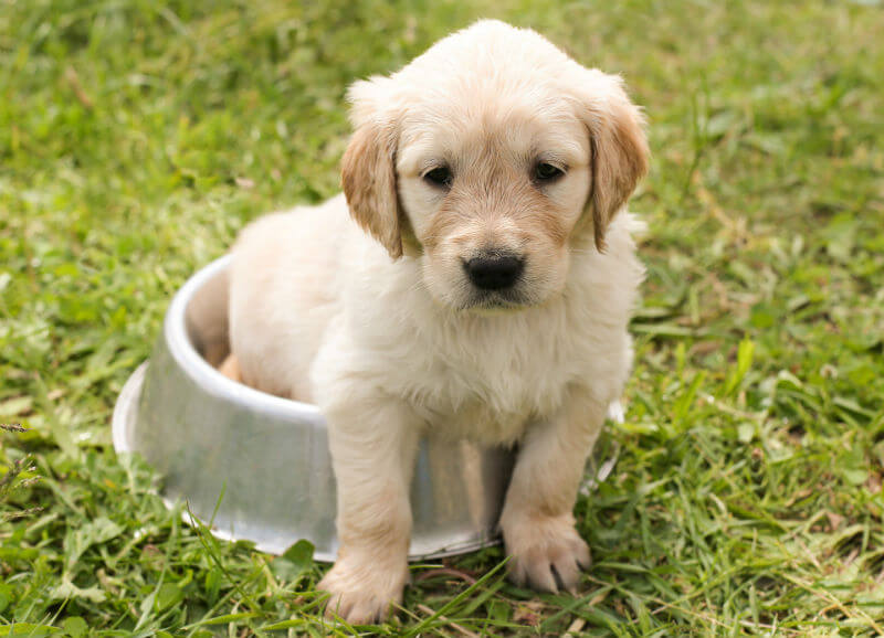 Golden retriever puppy sits in a metal food bowl on the grass