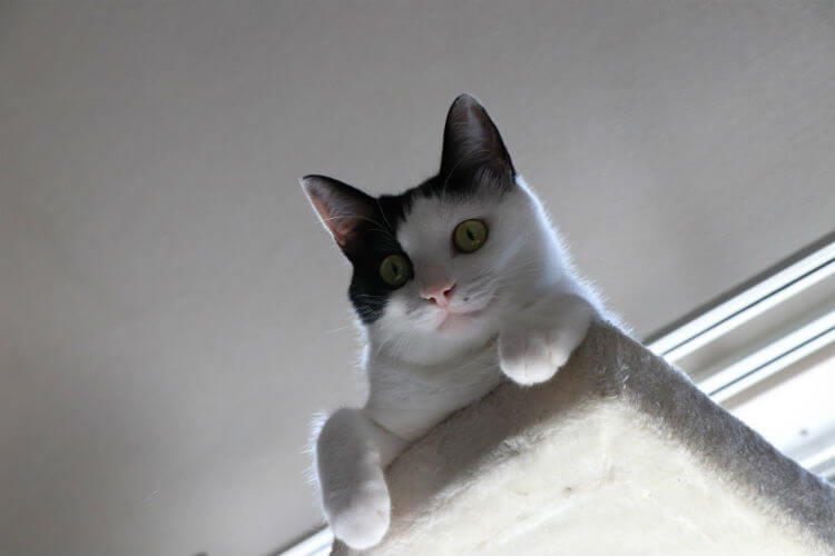 A black and white cat looks out below from atop a cat tree ledge
