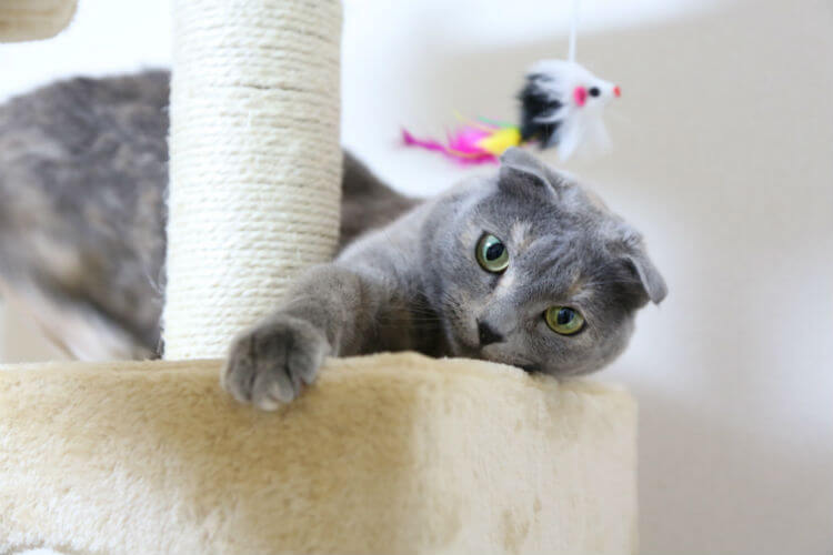 A gray cat plays with toys on a cat tower