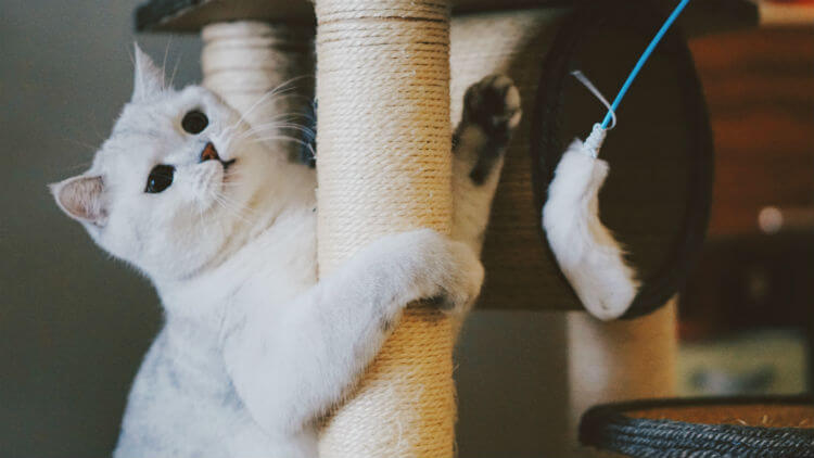 A white cat plays with a feather toy on a scratching post