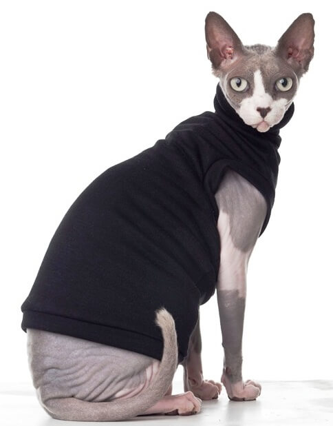 A gray and white sphynx cat wears a black turtleneck sweater