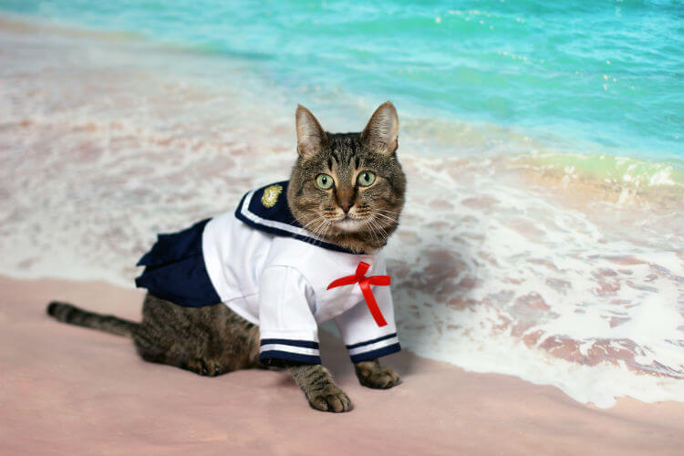 A gray and brown cat wears a sailor outfit in front of an ocean wallpaper