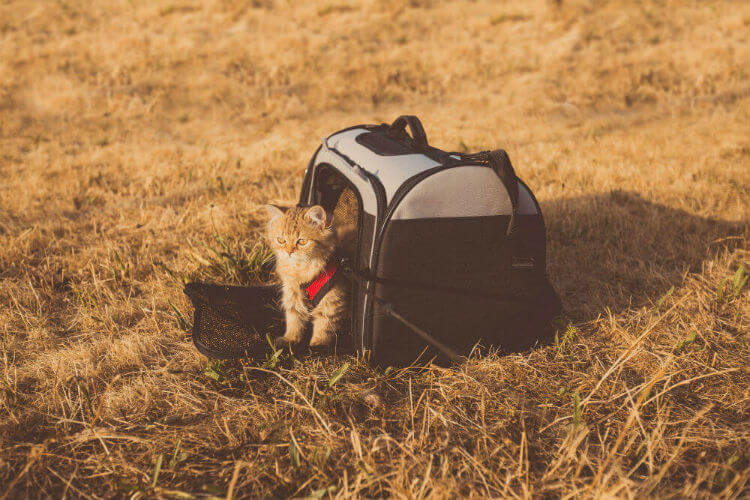 A kitten sits outside on yellow grass in a collapsible cat carrier
