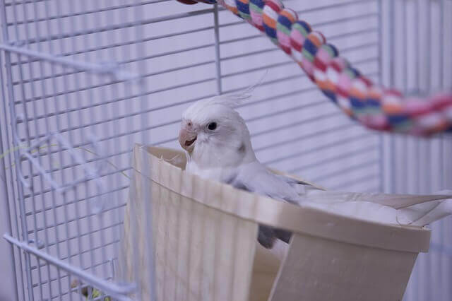 A happy white cockatiel sits in a basket in a bird cage
