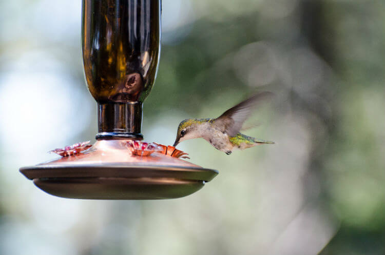 A small hummingbird drinks from a feeder