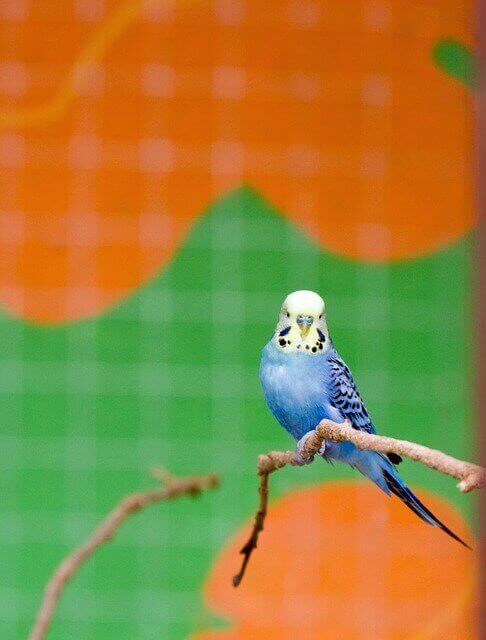 Yellow and blue parakeet perches in a large bird cage