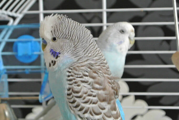 Two parakeets perch in a wire cage
