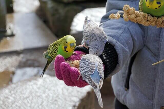 2 green and 2 blue parakeets eat from a gloved human hand