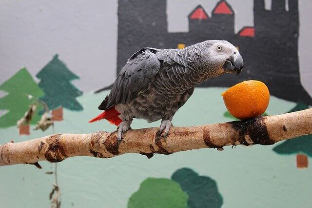 An African gray parrot perches on a branch to eat an orange