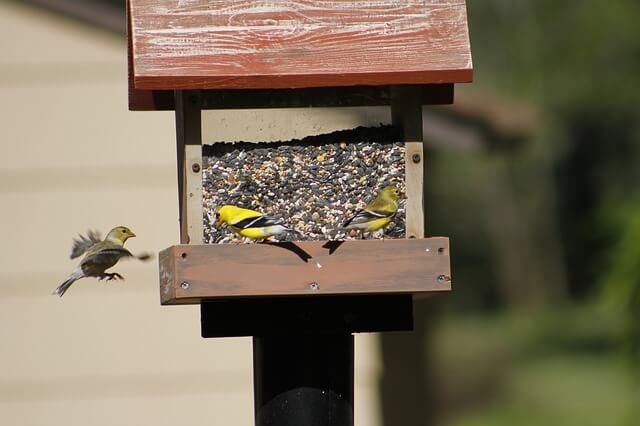 Three yellow finches eat seed from a clear bird feeder