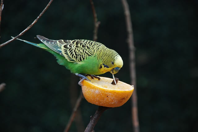 Yellow and green parakeet eating a slice of citrus fruit