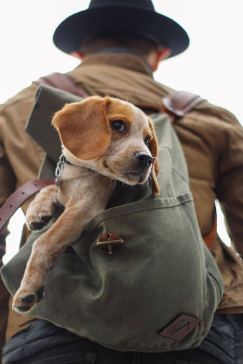 A man carries a beagle in a backpack