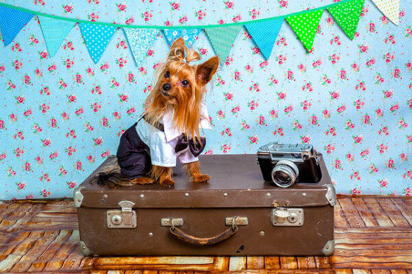 A dressed up dog sits on a suitcase