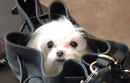 A white dog head pokes out of a black purse
