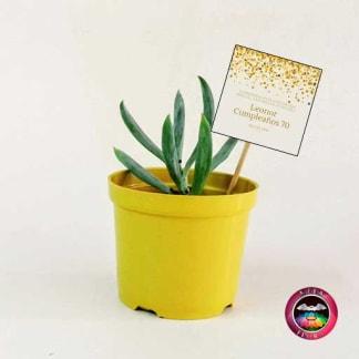 Suculentas recordatorios matera plástica 8cm colores amarilla con tarjeta Neea Flora