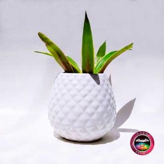 Suculentas en maceta cerámica piña blanca Neea Flora