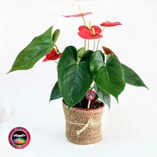 Anturio rojo Anthurium 14cm matera plásticayute frontal Neea Flora