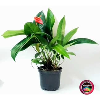 Planta Anturio helicoidal Anthurium 14cm matera plástica Neea Flora